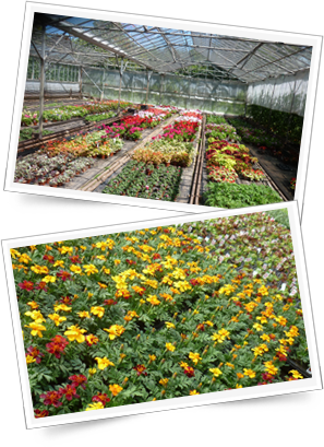 Bedding plant greenhouse near Birmingham - Buy direct and save!