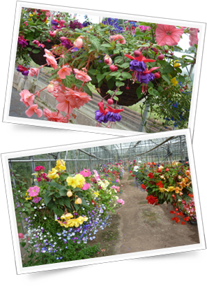 Hanging Baskets from Caldicott's Nursery for commercial or home
