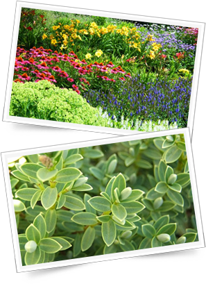 Buy perennials and shrubs direct from the nursery near Birmingham
