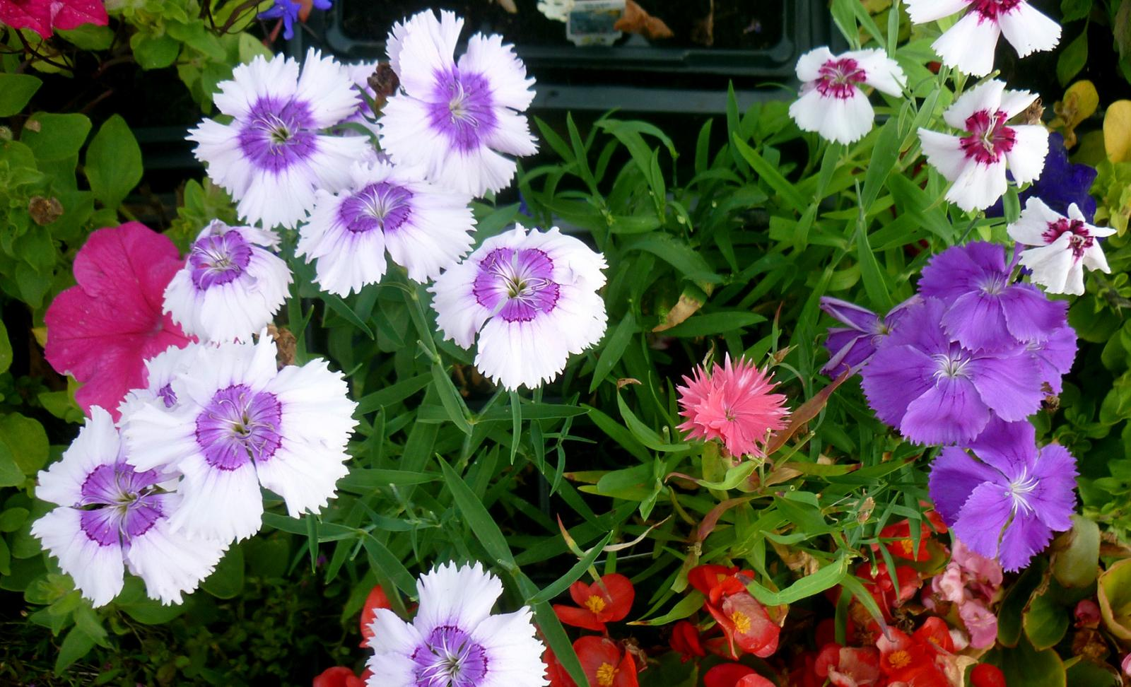 Bedding plants Caldicotts Nursery